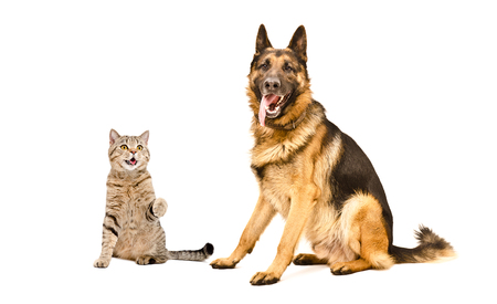 Playful cat Scottish Straight and German Shepherd dog