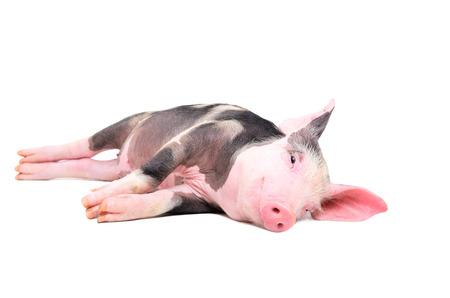Cute little pig lying on its side