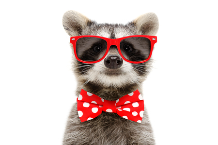 Portrait of a funny raccoon in sunglasses and bow