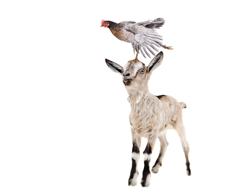 Funny goatling