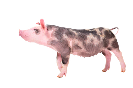 Curious little piggy, side view
