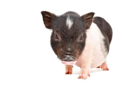 Cute little Vietnamese piggy Banco de Imagens - 121502455