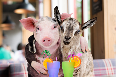 Pig and goat hugging while sitting in a cafe with cocktails Banco de Imagens - 121502456
