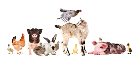 Funny group of farm animals isolated on white background 스톡 콘텐츠