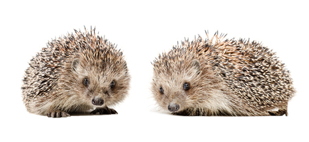 Two cute hedgehogs isolated on white background Stock Photo