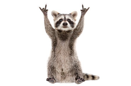 Funny raccoon showing a rock gesture