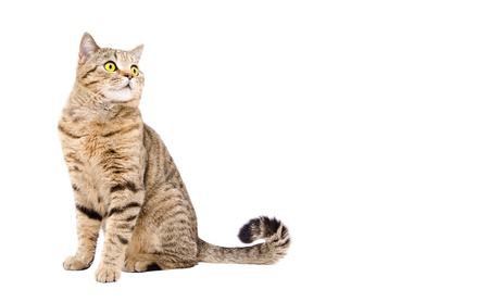 Adorable cat Scottish Strait sitting isolated on white background Stock Photo