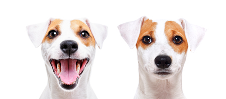 Portrait of a jack russell terrier, closeup, isolated on white background