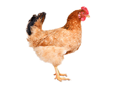 Chicken standing isolated on white Stock Photo