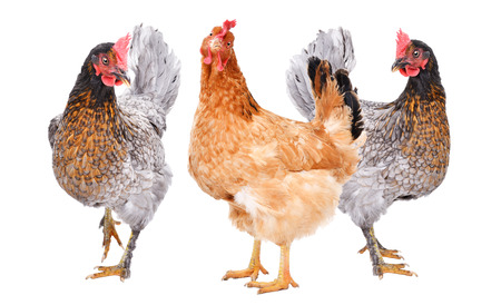 Three chicken standing together Imagens