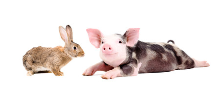 Funny pig and curious rabbit together isolated on white