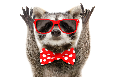 Portrait of a funny raccoon showing a rock gesture