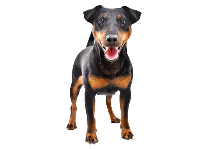 Funny dog breed Jagdterrier standing isolated on white Stock Photo