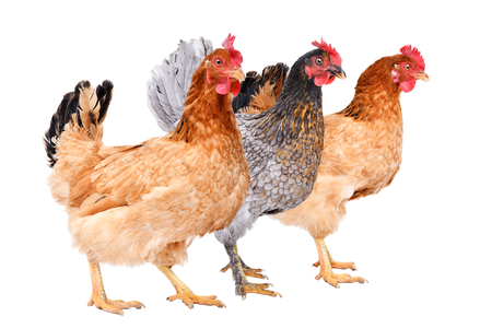 Three chicken standing together, side view, isolated on white background