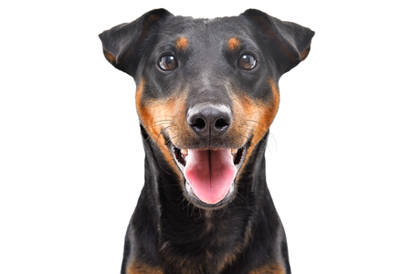 Portrait of funny dog breed Jagdterrier isolated on white background