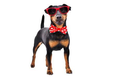 Funny dog breed Jagdterrier in a bow tie and sunglasses Stock Photo