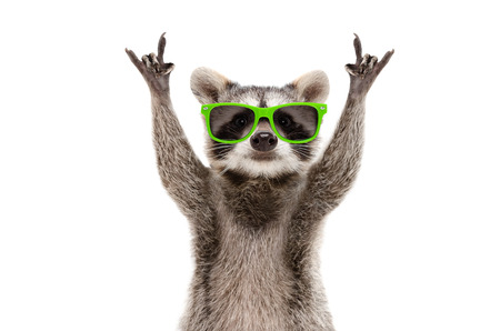 Funny raccoon in green sunglasses showing a rock gesture
