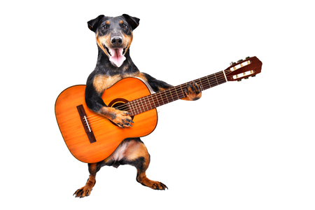 Funny dog breed Jagdterrier standing with acoustic guitar