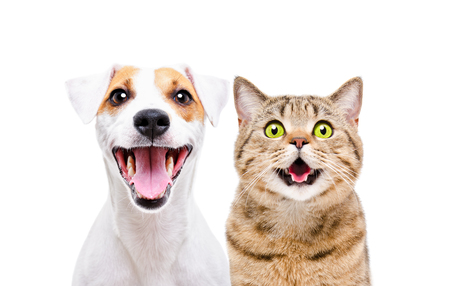 Portrait of a cute dog Russell Terrier and a cheerful cat Scottish Straight