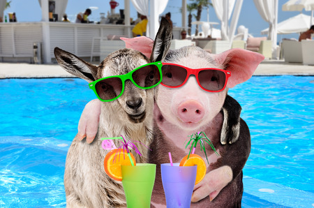 Pig and goat hugging on the pool background