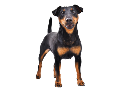 Cute dog breed Jagdterrier standing isolated on white background