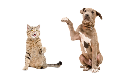 Funny cat Scottish Straight and playful Pit bull puppy sitting together isolated on white background