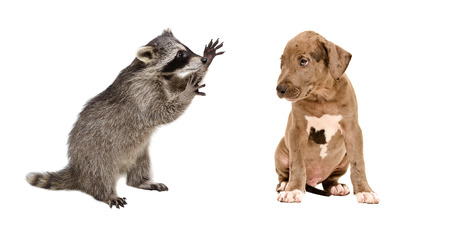 Funny raccoon and a cute pit bull puppy