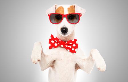 Porträt eines lustigen Hundes Jack Russell Terrier mit Fliege und Sonnenbrille Standard-Bild