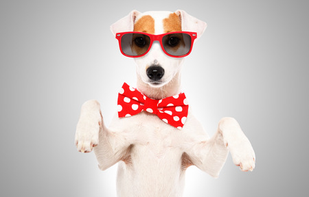 Portrait of a funny dog Jack Russell Terrier in a bow tie and sunglasses Banco de Imagens - 122857386
