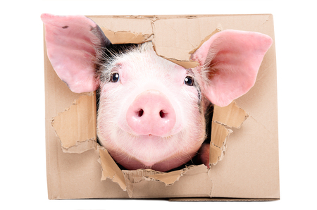 Funny little pig looks in a box Banco de Imagens - 123366041