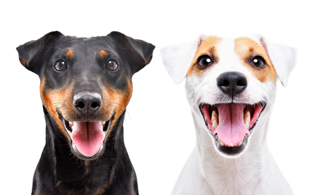 Portrait of funny dog breed Jagdterrier and Jack Russell Terrier isolated on white background Stock Photo