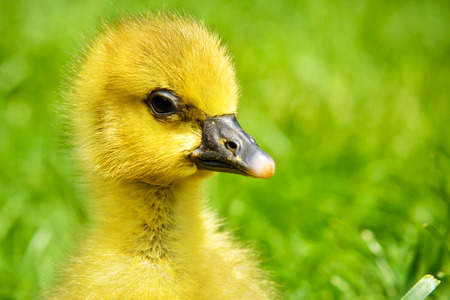 Portrait of a little cute gosling in the grass Stock Photo