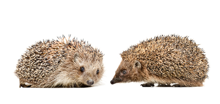 Two cute hedgehogs sitting together Stock Photo