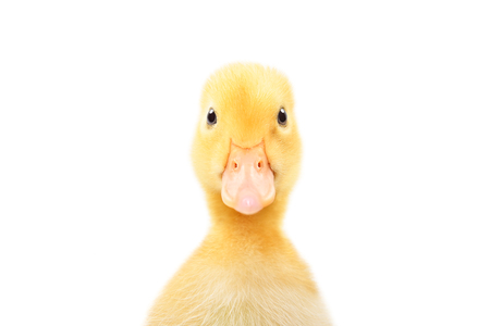 Portrait of a cute little duckling Stock Photo