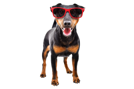 Funny dog breed Jagdterrier in a red sunglasses Banco de Imagens