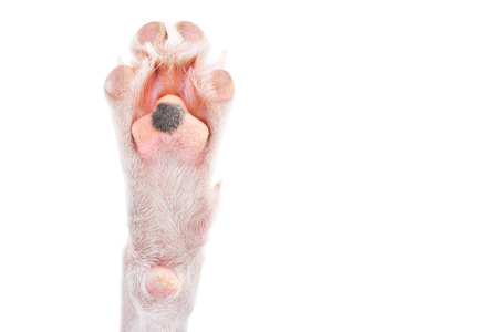 Paw of a white dog with a black spot