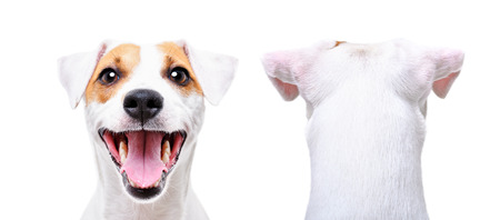 Jack Russell Terrier, closeup, front view and back view