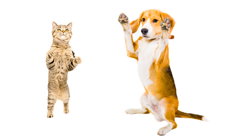 Cat Scottish Straight and Beagle dog