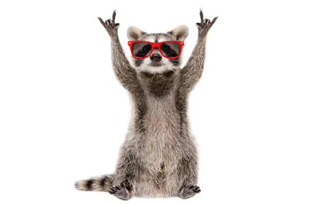 Funny raccoon in red sunglasses showing a rock gesture Banco de Imagens