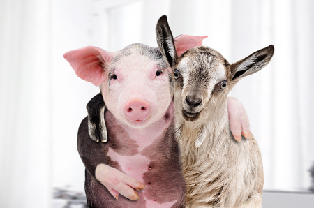 Portrait of a goat and a pig embracing each other