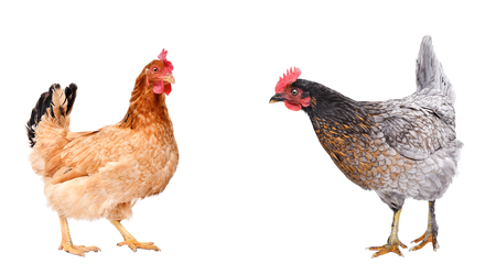 Two curious chicken standing together Stock Photo