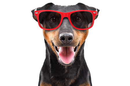 Funny dog breed Jagdterrier in a red sunglasses Stock Photo