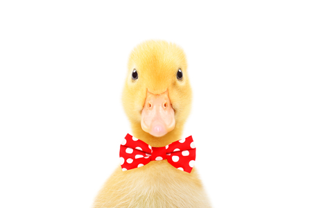 Portrait of a funny little duckling in a bow tie