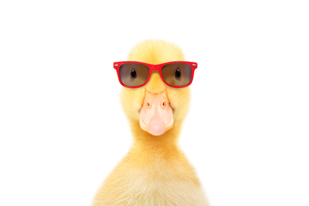 Portrait of a funny little duckling in red sunglasses Banco de Imagens - 126325961