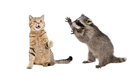 Cute cat Scottish Straight and funny raccoon playing together Banco de Imagens - 126325960