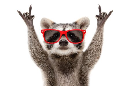 Portrait of a funny raccoon in red sunglasses showing a rock gesture