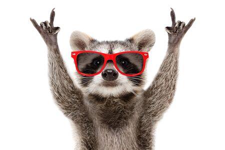 Retrato de un gracioso mapache con gafas de sol rojas mostrando un gesto de rock Foto de archivo