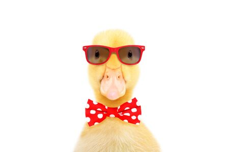 Little duckling in red sunglasses and bow tie Фото со стока