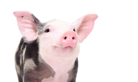 Portrait of a cute cheerful pig Stock Photo