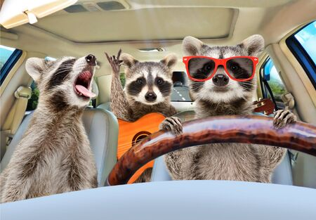 Three funny raccoon with a guitar ride in the car Banco de Imagens - 126477608